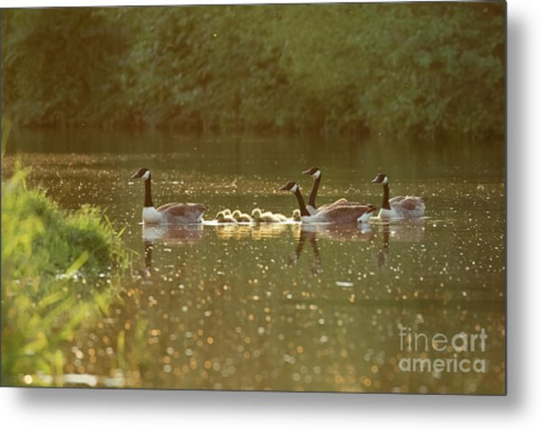 Canada Goose Geese Family - Branta Canadensis - With Goslings On A Metal Print