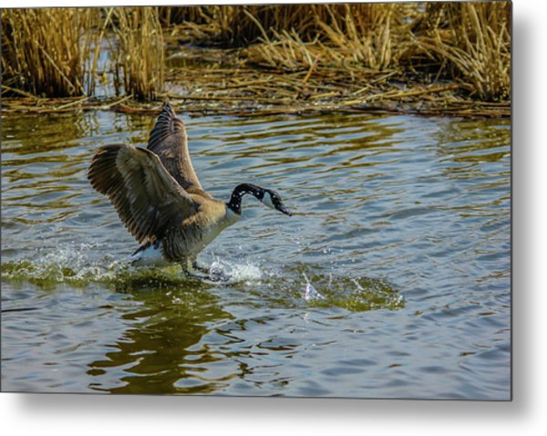 Canada Goose Takes Flight, Frank Lake, Alberta, Canada Metal Print
