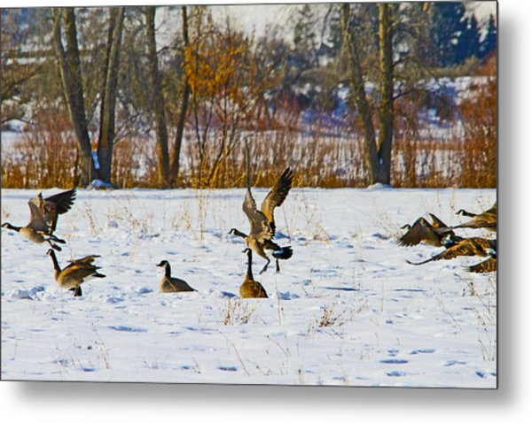 Canadian Geese At Sunrise IIi Metal Print