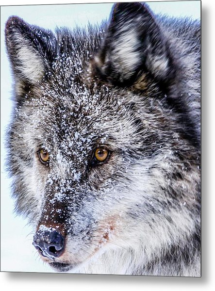Canadian Grey Wolf In Portrait, British Columbia, Canada Metal Print