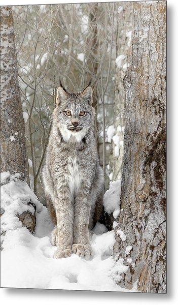 Canadian Wilderness Lynx Metal Print