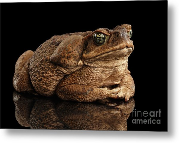 Cane Toad - Bufo Marinus, Giant Neotropical Or Marine Toad Isolated On Black Background Metal Print