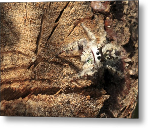 Canopy Jumping Spider Metal Print