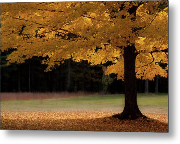 Canopy Of Autumn Gold Metal Print
