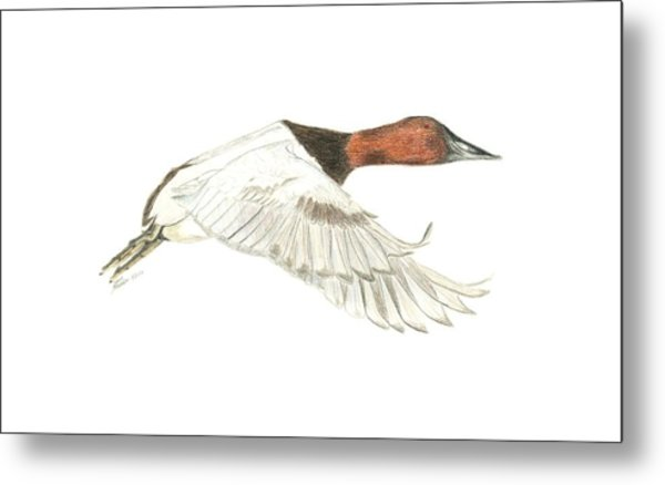 Canvasback Metal Print