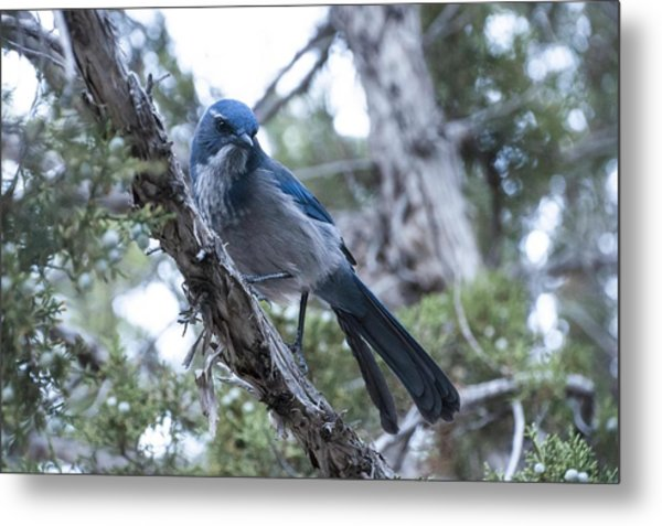 Canyon Jay Metal Print