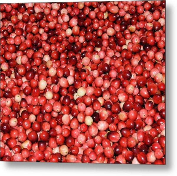 Cape Cod Cranberries Metal Print