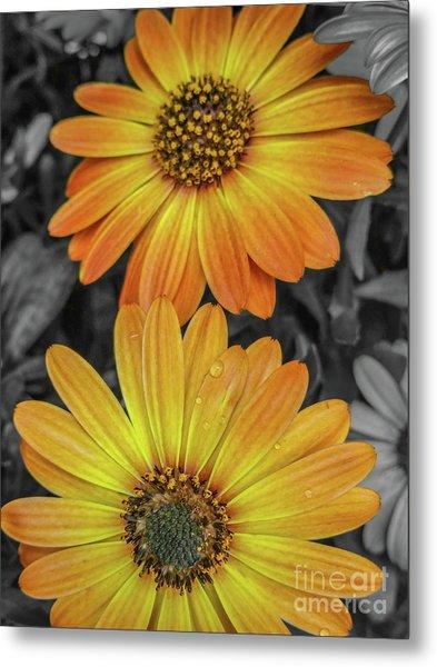 Cape Daisy's - Orange Metal Print