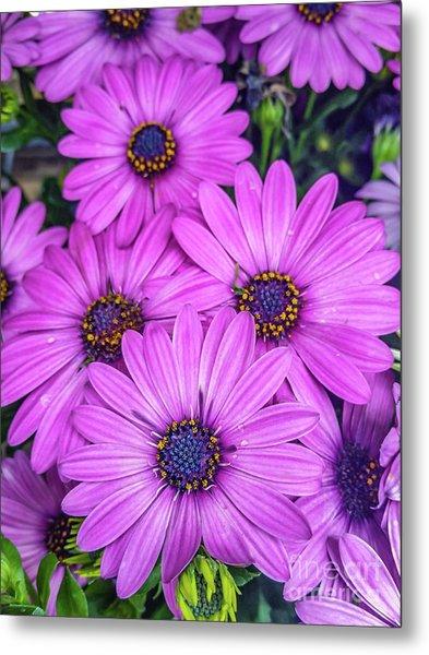 Cape Daisys - Purple Metal Print