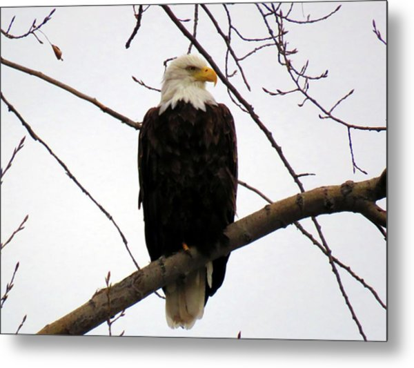 Cape Eagle Metal Print