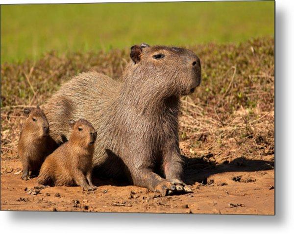 Capybara Family Enjoying Sunset Metal Print