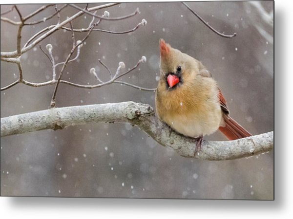 Cardinal And Falling Snow Metal Print