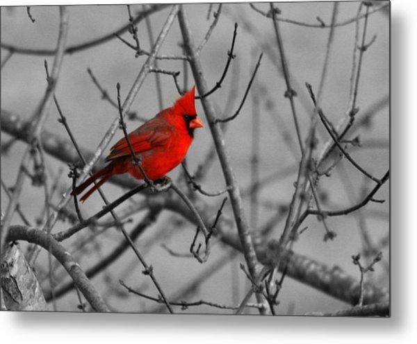 Cardinal Colorized Metal Print