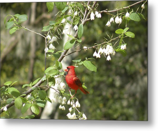Cardinal Metal Print by Gregory Letts