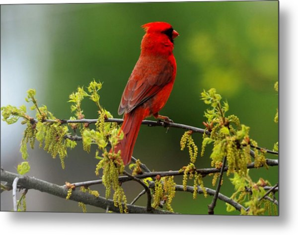 Cardinal In Early Spring Metal Print