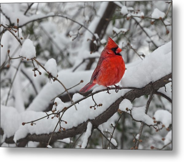 Cardinal In The Snow 1 Metal Print