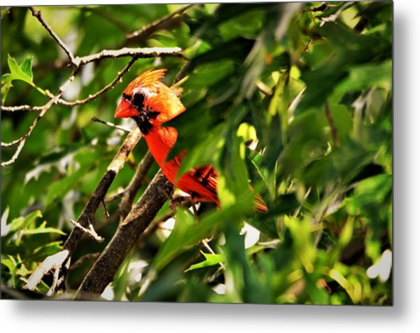 Cardinal In Tree Metal Print