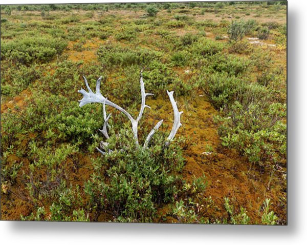 Metal Print featuring the photograph Caribou Horns by Fred Denner
