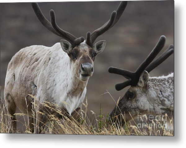 Caribou Metal Print by Tim Grams