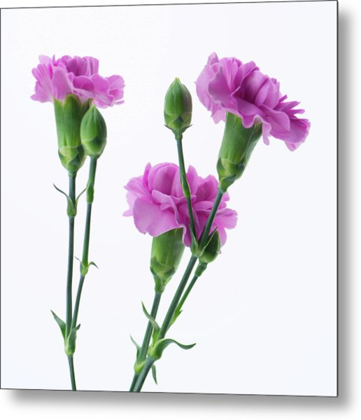 Carnations Three Lavender Metal Print