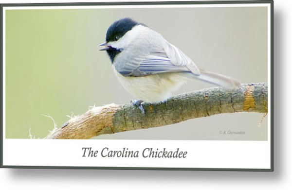 Carolina Chickadee, Animal Portrait Metal Print