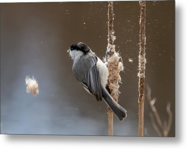 Carolina Chickadee Feeding On Cattail Metal Print