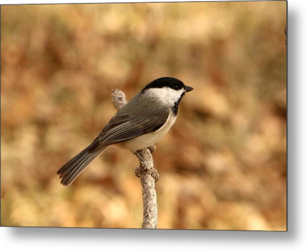 Carolina Chickadee On Branch Metal Print