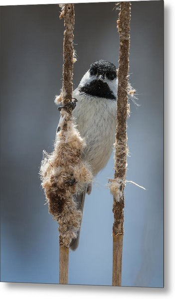 Carolina Chickadee On Cattails Metal Print
