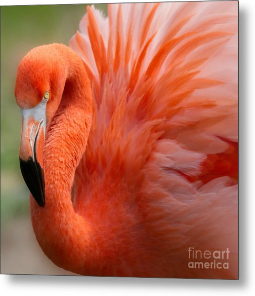 Caribbean Flamingo Metal Print