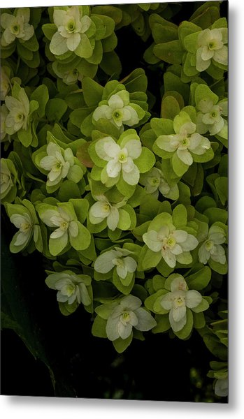 Cascading White Blossoms 2 Metal Print by Greg  Plachta