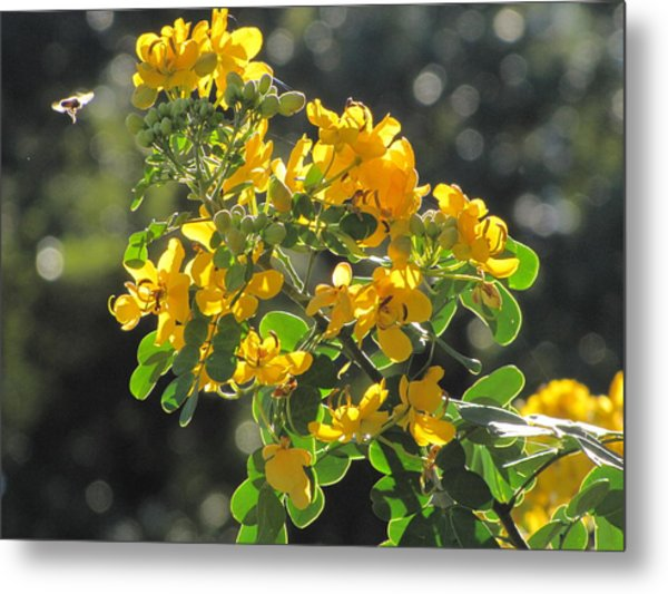 Catchlight Bee Over Yellow Blooms Metal Print
