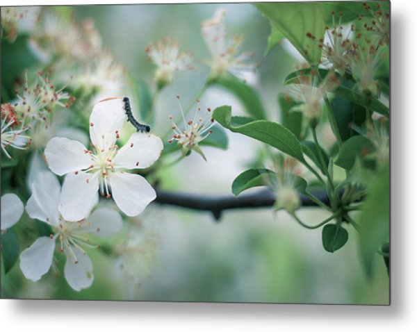 Caterpillar On A Tree Blossom Metal Print