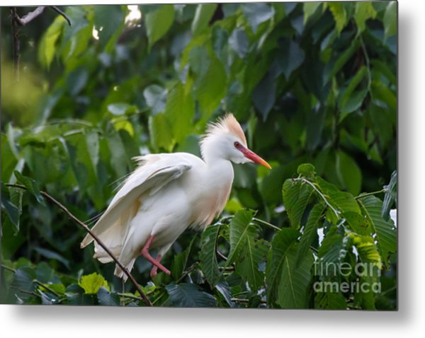 Cattle Egret At Rest Metal Print