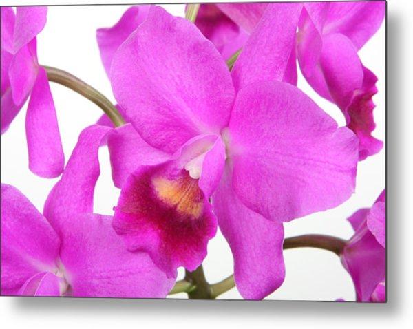 Cattleya Orchid Metal Print by Lynn Berreitter