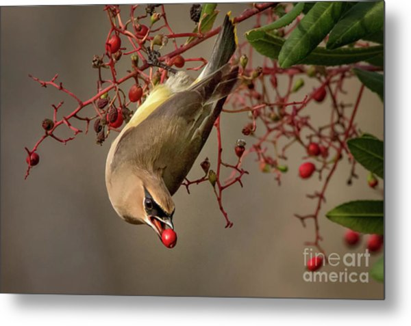 Cedar Waxwing With Toyon Berry Metal Print