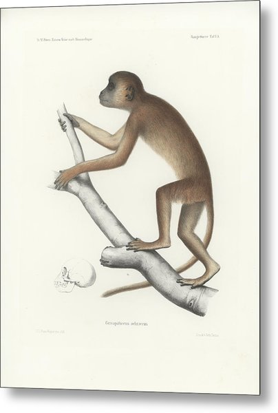 Central Yellow Baboon, Papio C. Cynocephalus Metal Print