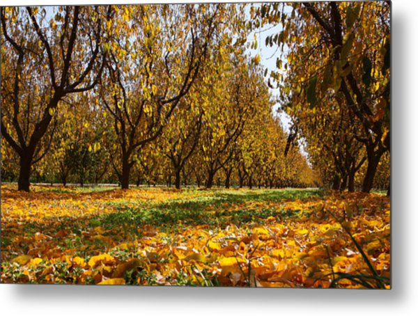 Ceres Orchard - Fall Metal Print by Stephen Bonrepos
