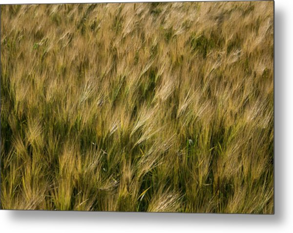 Changing Wheat Metal Print