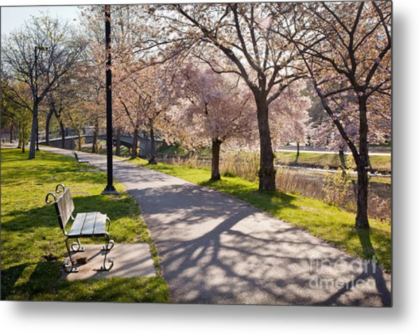Charles River Cherry Trees Metal Print