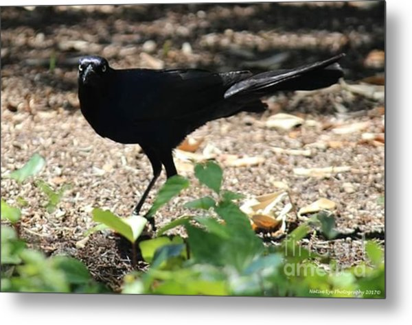 Charleston Wildlife. Black Bird Metal Print