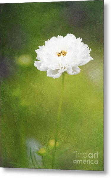 Charming White Cosmos Metal Print