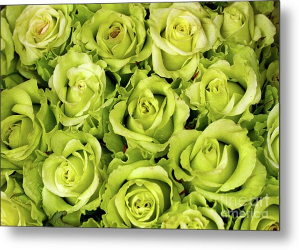 Chartreuse Colored Roses Metal Print