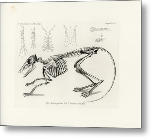 Checkered Elephant Shrew Skeleton Metal Print