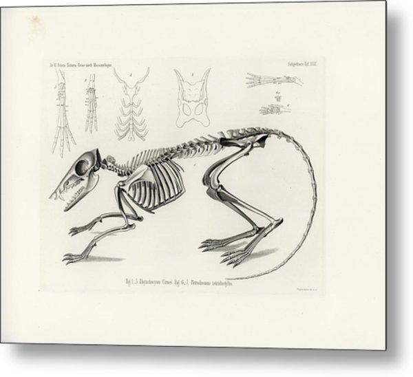 Checkered Elephant Shrew Skeleton Metal Print