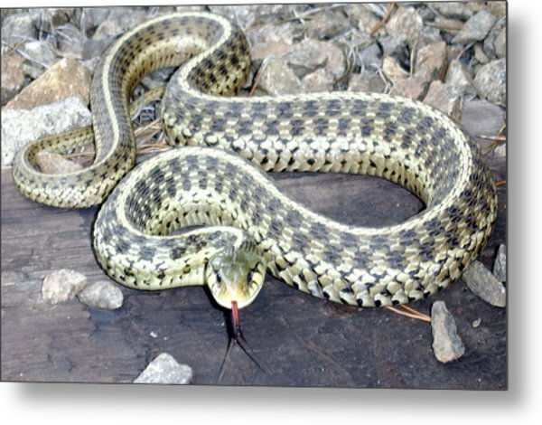Checkered Garter Snake Metal Print
