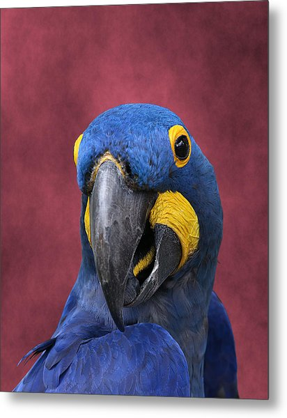 Cheeky Macaw Metal Print
