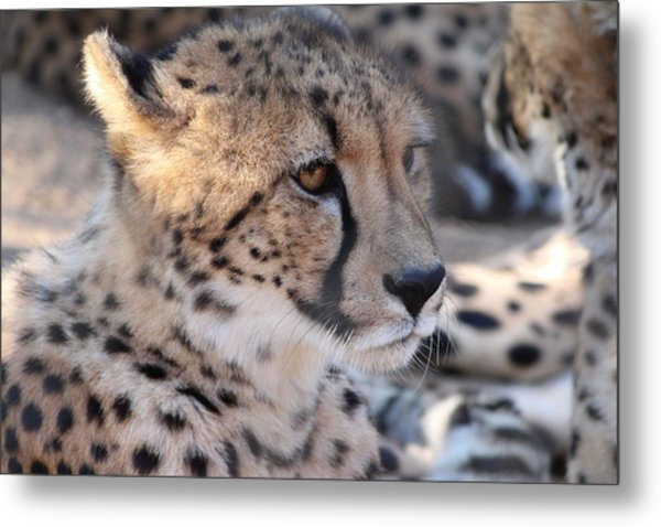 Cheetah And Friends Metal Print