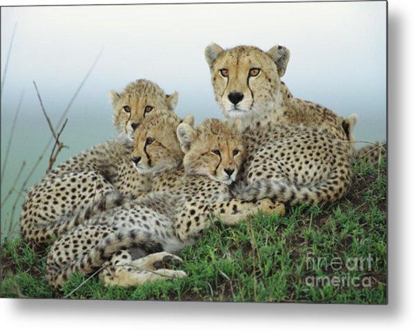 Cheetah And Her Cubs Metal Print