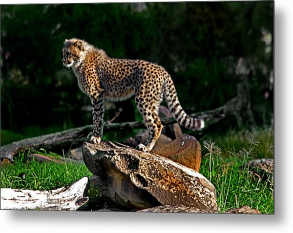 Cheetah Cub Finds Her Pride Rock Metal Print