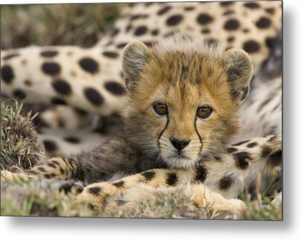 Cheetah Cub Portrait Metal Print